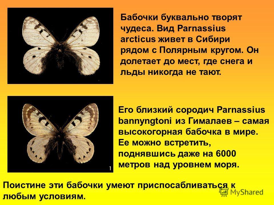Бабочки буквально творят чудеса. Вид Parnassius arcticus живет в Сибири рядом с Полярным кругом. Он долетает до мест, где снега и льды никогда не тают. Его близкий сородич Parnassius bannyngtoni из Гималаев – самая высокогорная бабочка в мире. Ее мож