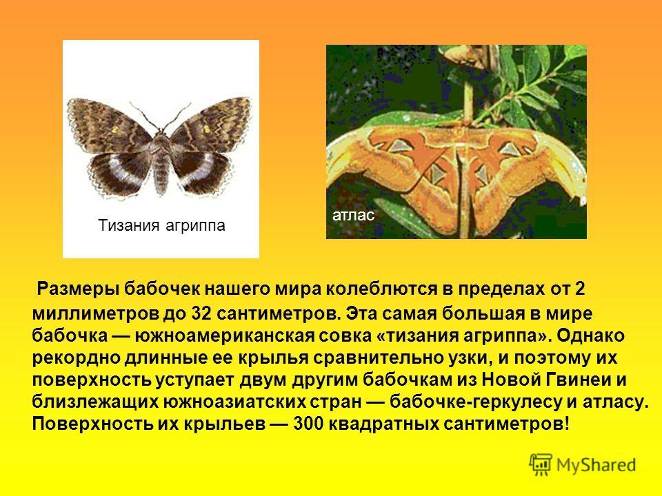 Размеры бабочек нашего мира колеблются в пределах от 2 миллиметров до 32 сантиметров. Эта самая большая в мире бабочка южноамериканская совка «тизания агриппа». Однако рекордно длинные ее крылья сравнительно узки, и поэтому их поверхность уступает дв