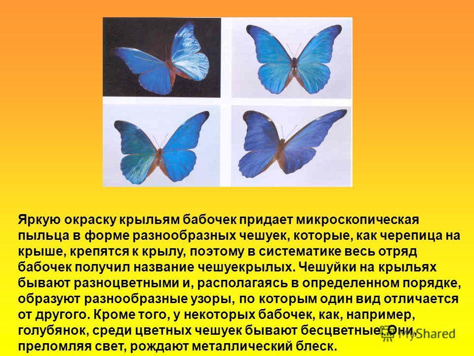 Яркую окраску крыльям бабочек придает микроскопическая пыльца в форме разнообразных чешуек, которые, как черепица на крыше, крепятся к крылу, поэтому в систематике весь отряд бабочек получил название чешуекрылых. Чешуйки на крыльях бывают разноцветны