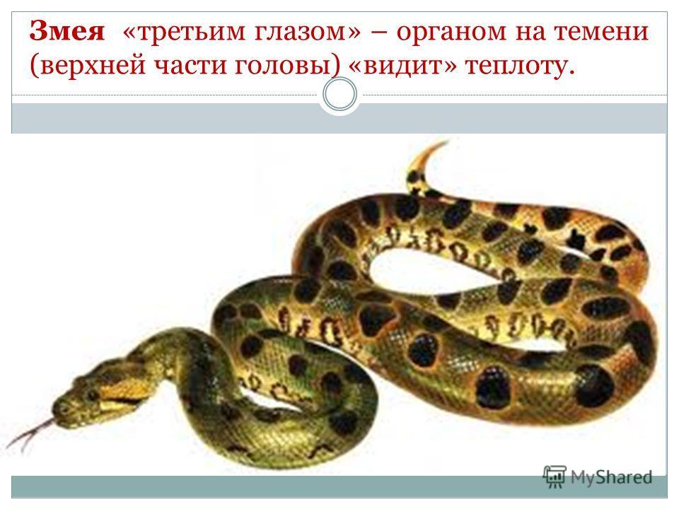 Змея «третьим глазом» – органом на темени (верхней части головы) «видит» теплоту.