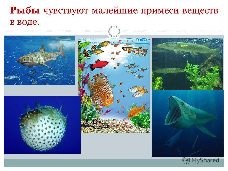 Рыбы чувствуют малейшие примеси веществ в воде.