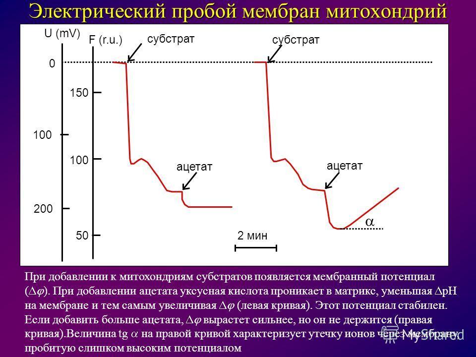 2 мин 0 100 200 150 100 50 U (mV) F (r.u.) субстрат ацетат Электрический пробой мембран митохондрий При добавлении к митохондриям субстратов появляется мембранный потенциал ( ). При добавлении ацетата уксусная кислота проникает в матрикс, уменьшая pH