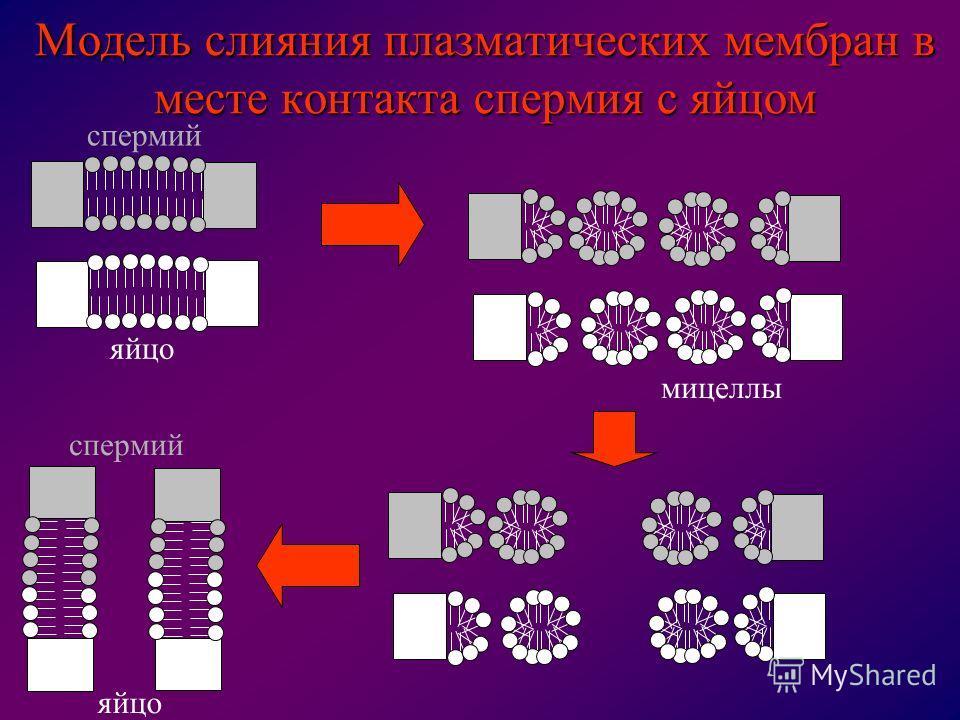 яйцо спермий яйцо мицеллы Модель слияния плазматических мембран в месте контакта спермия с яйцом