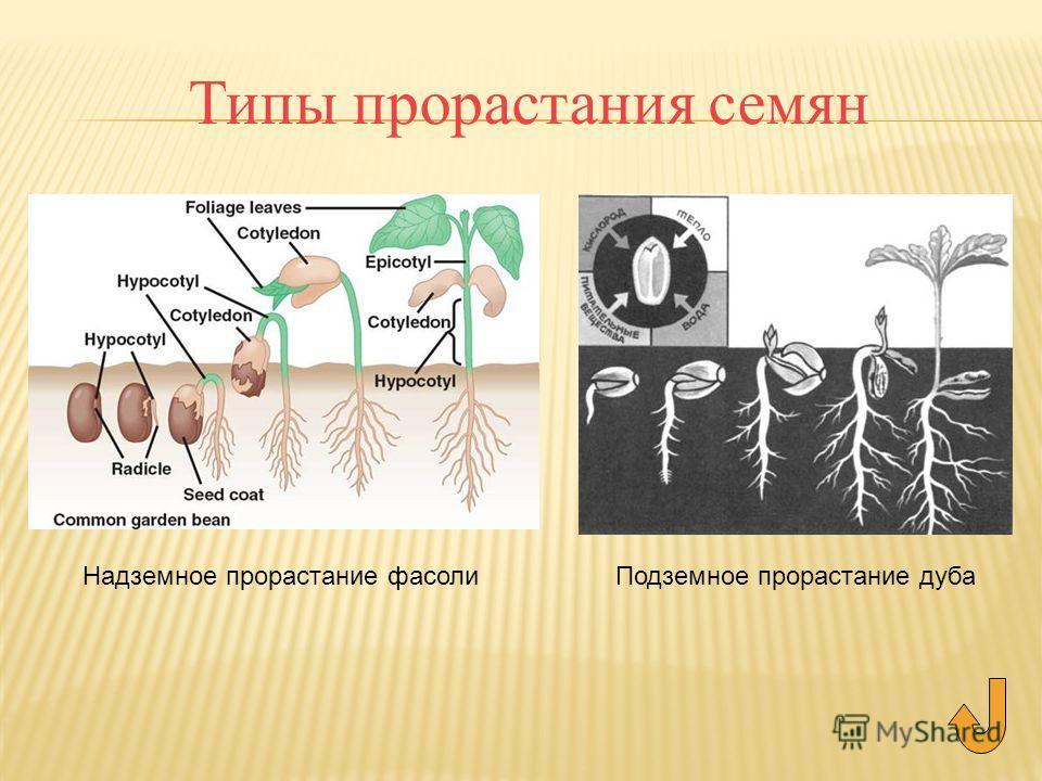 Типы прорастания семян Подземное прорастание дубаНадземное прорастание фасоли