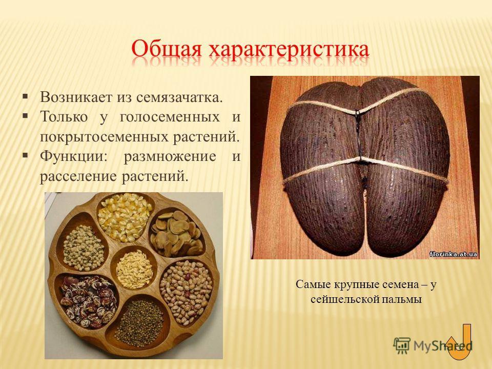Возникает из семязачатка. Только у голосеменных и покрытосеменных растений. Функции: размножение и расселение растений. Самые крупные семена – у сейшельской пальмы