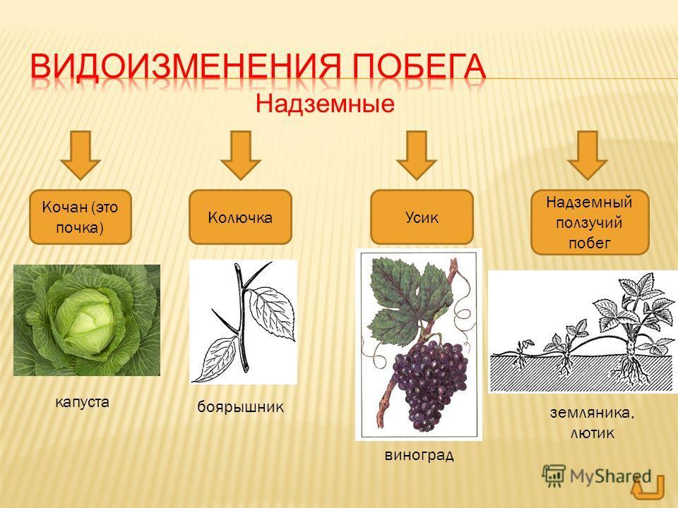 Надземные Кочан (это почка) КолючкаУсик Надземный ползучий побег капуста боярышник виноград земляника, лютик