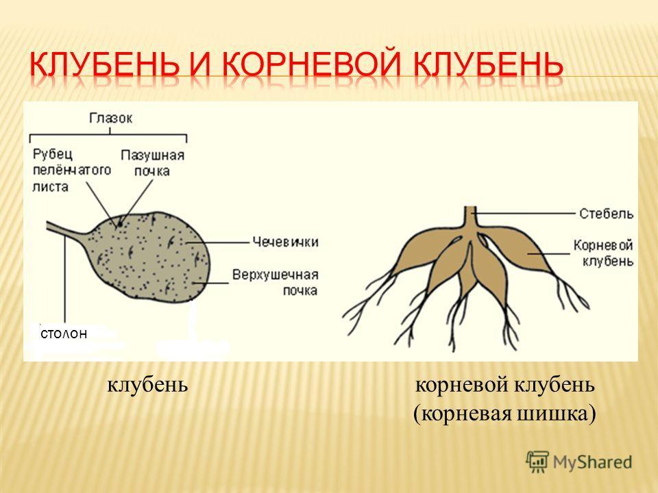 столон клубенькорневой клубень (корневая шишка)