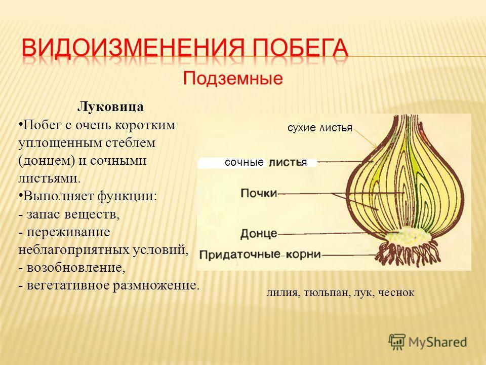 Подземные сочныея сухие листья Луковица Побег с очень коротким уплощенным стеблем (донцем) и сочными листьями. Выполняет функции: - запас веществ, - переживание неблагоприятных условий, - возобновление, - вегетативное размножение. лилия, тюльпан, лук