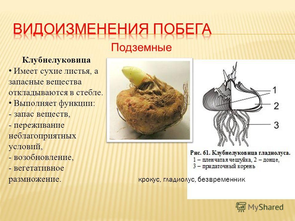 Подземные Клубнелуковица Имеет сухие листья, а запасные вещества откладываются в стебле. Выполняет функции: - запас веществ, - переживание неблагоприятных условий, - возобновление, - вегетативное размножение. крокус, гладиолус, безвременник