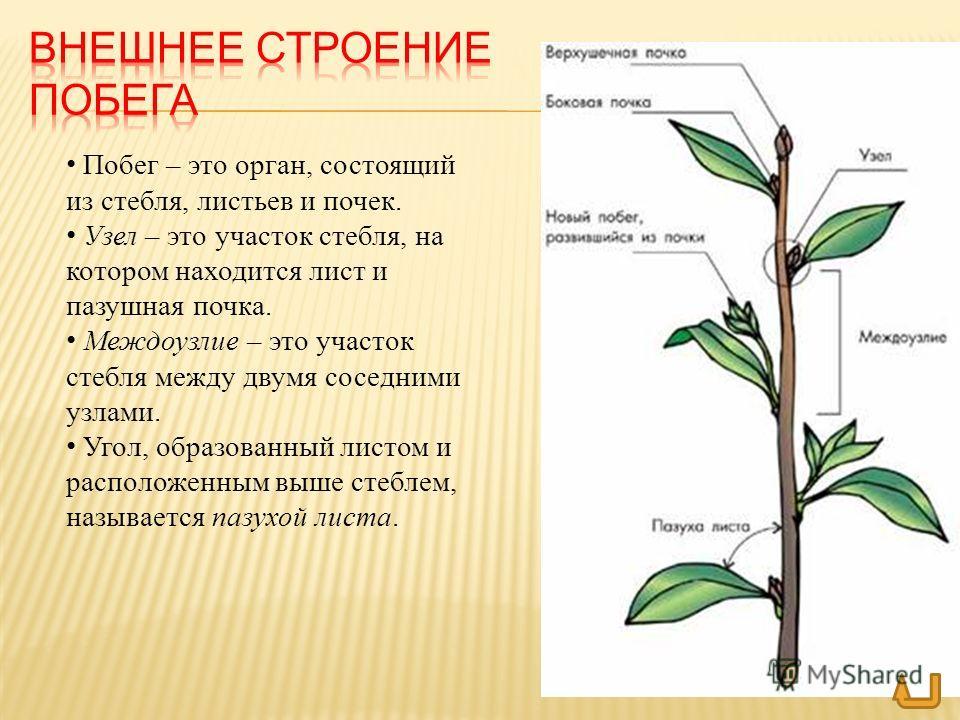 Виды стебля по внешнему строению