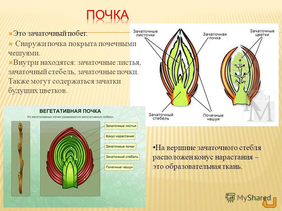 Это зачаточный побег. Снаружи почка покрыта почечными чешуями. Внутри находятся: зачаточные листья, зачаточный стебель, зачаточные почки. Также могут содержаться зачатки будущих цветков. На вершине зачаточного стебля расположен конус нарастания – это