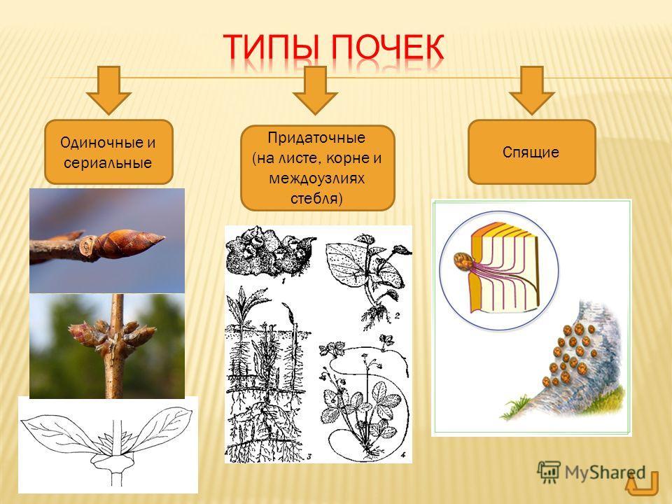 Одиночные и сериальные Придаточные (на листе, корне и междоузлиях стебля) Спящие