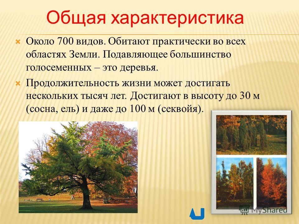Общая характеристика Около 700 видов. Обитают практически во всех областях Земли. Подавляющее большинство голосеменных – это деревья. Продолжительность жизни может достигать нескольких тысяч лет. Достигают в высоту до 30 м (сосна, ель) и даже до 100
