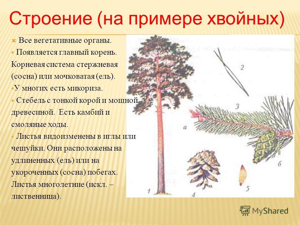 Строение (на примере хвойных) Все вегетативные органы. Появляется главный корень. Корневая система стержневая (сосна) или мочковатая (ель). У многих есть микориза. Стебель с тонкой корой и мощной древесиной. Есть камбий и смоляные ходы. Листья видоиз