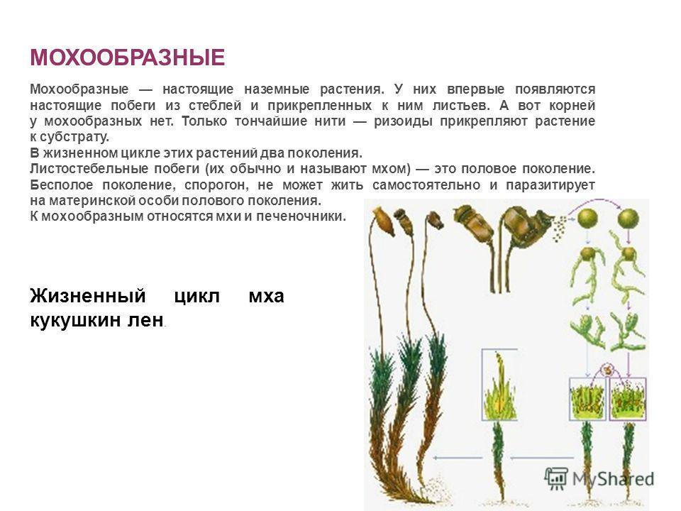 МОХООБРАЗНЫЕ Мохообразные настоящие наземные растения. У них впервые появляются настоящие побеги из стеблей и прикрепленных к ним листьев. А вот корней у мохообразных нет. Только тончайшие нити ризоиды прикрепляют растение к субстрату. В жизненном ци