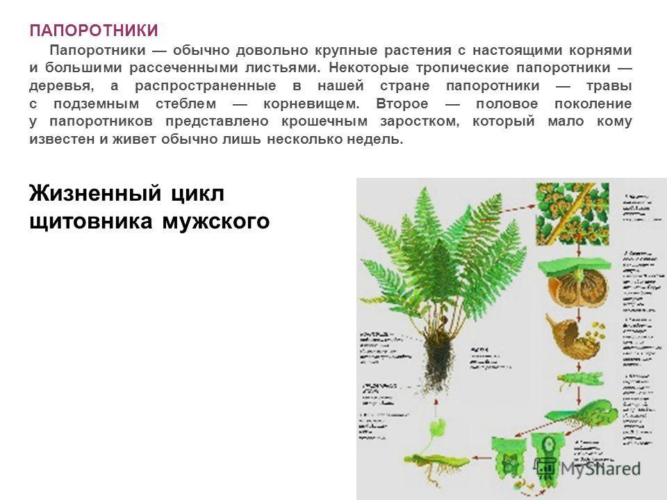 ПАПОРОТНИКИ Папоротники обычно довольно крупные растения с настоящими корнями и большими рассеченными листьями. Некоторые тропические папоротники деревья, а распространенные в нашей стране папоротники травы с подземным стеблем корневищем. Второе поло