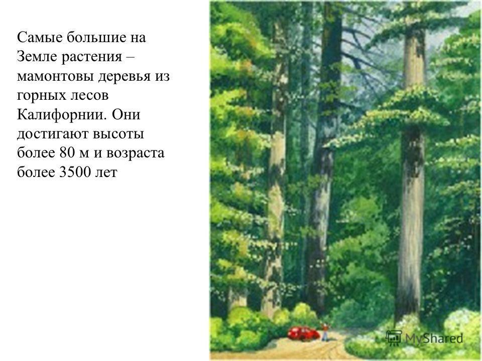 Самые большие на Земле растения – мамонтовы деревья из горных лесов Калифорнии. Они достигают высоты более 80 м и возраста более 3500 лет