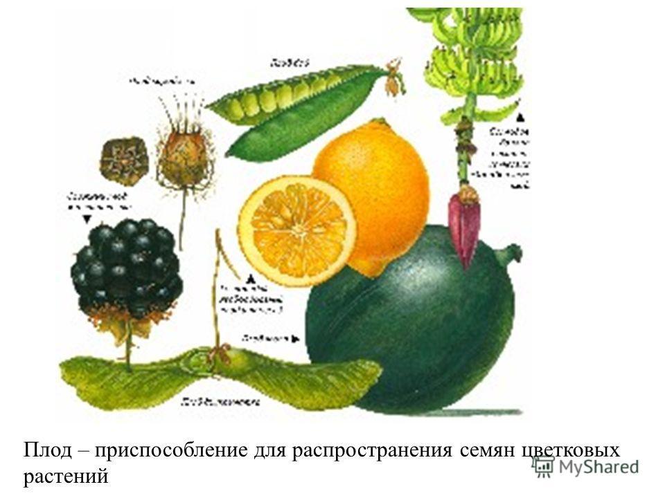 Плод – приспособление для распространения семян цветковых растений