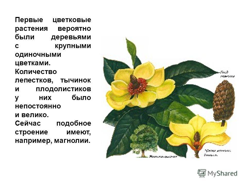 Первые цветковые растения вероятно были деревьями с крупными одиночными цветками. Количество лепестков, тычинок и плодолистиков у них было непостоянно и велико. Сейчас подобное строение имеют, например, магнолии.