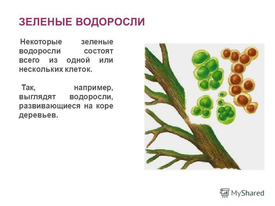ЗЕЛЕНЫЕ ВОДОРОСЛИ Некоторые зеленые водоросли состоят всего из одной или нескольких клеток. Так, например, выглядят водоросли, развивающиеся на коре деревьев.