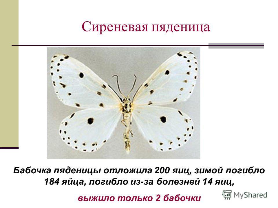 Сиреневая пяденица Бабочка пяденицы отложила 200 яиц, зимой погибло 184 яйца, погибло из-за болезней 14 яиц, выжило только 2 бабочки
