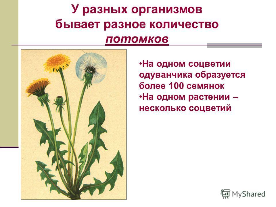 На одном соцветии одуванчика образуется более 100 семянок На одном растении – несколько соцветий У разных организмов бывает разное количество потомков