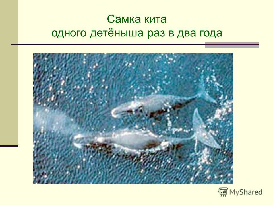 Самка кита одного детёныша раз в два года