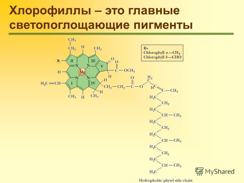 Хлорофиллы – это главные светопоглощающие пигменты