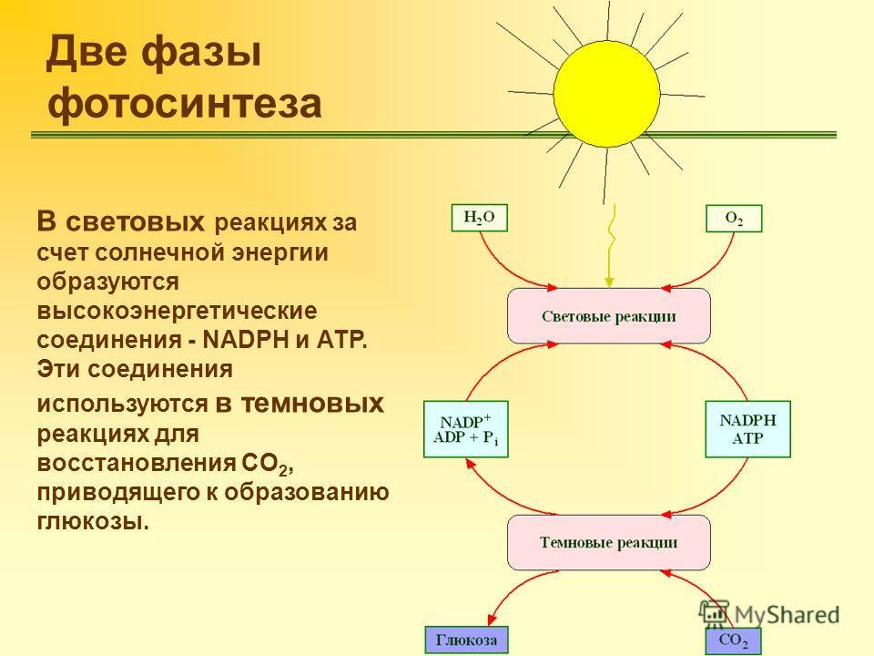Две фазы фотосинтеза В световых реакциях за счет солнечной энергии образуются высокоэнергетические соединения - NADPH и АТР. Эти соединения используются в темновых реакциях для восстановления CO 2, приводящего к образованию глюкозы.
