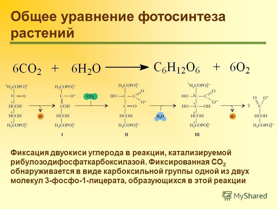 Общее уравнение фотосинтеза растений Фиксация двуокиси углерода в реакции, катализируемой рибулозодифосфаткарбоксилазой. Фиксированная СО 2 обнаруживается в виде карбоксильной группы одной из двух молекул 3-фосфо-1-лицерата, образующихся в этой реакц