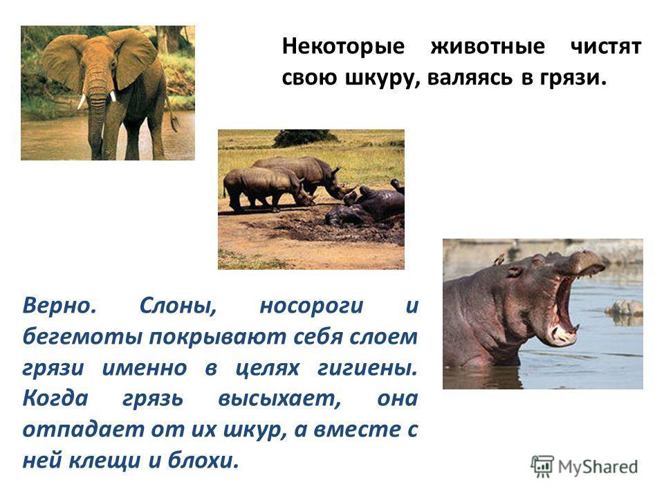Некоторые животные чистят свою шкуру, валяясь в грязи. Верно. Слоны, носороги и бегемоты покрывают себя слоем грязи именно в целях гигиены. Когда грязь высыхает, она отпадает от их шкур, а вместе с ней клещи и блохи.