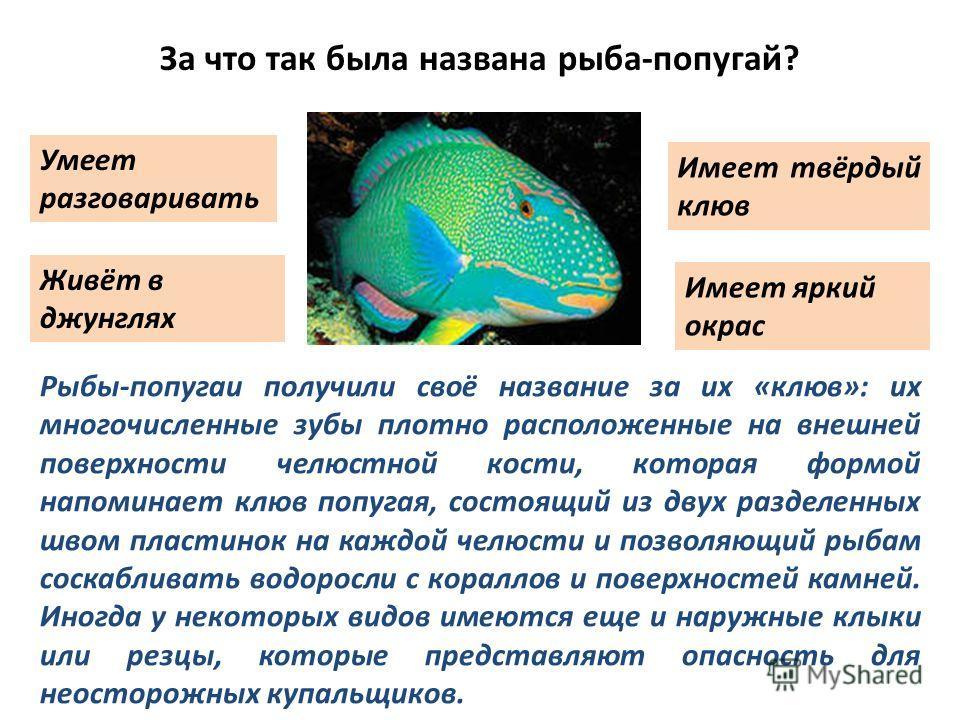 За что так была названа рыба-попугай? Умеет разговаривать Живёт в джунглях Имеет твёрдый клюв Имеет яркий окрас Рыбы-попугаи получили своё название за их «клюв»: их многочисленные зубы плотно расположенные на внешней поверхности челюстной кости, кото