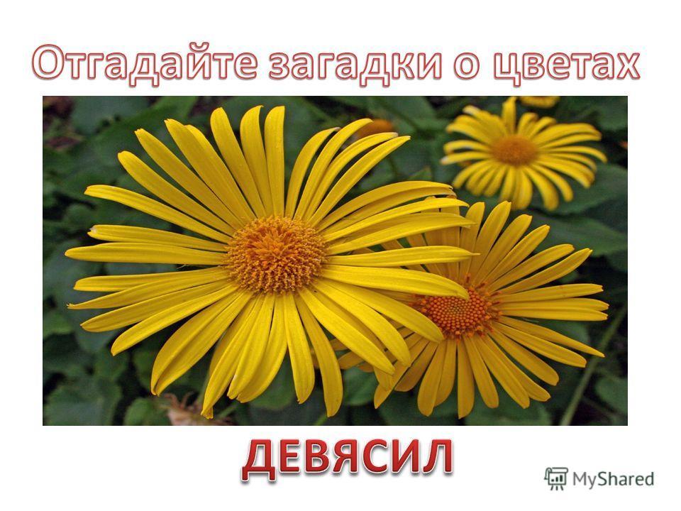 Есть у нас чудесное растение, Много скрыто в нём целебных сил, И из поколенья в поколенье Носит оно имя