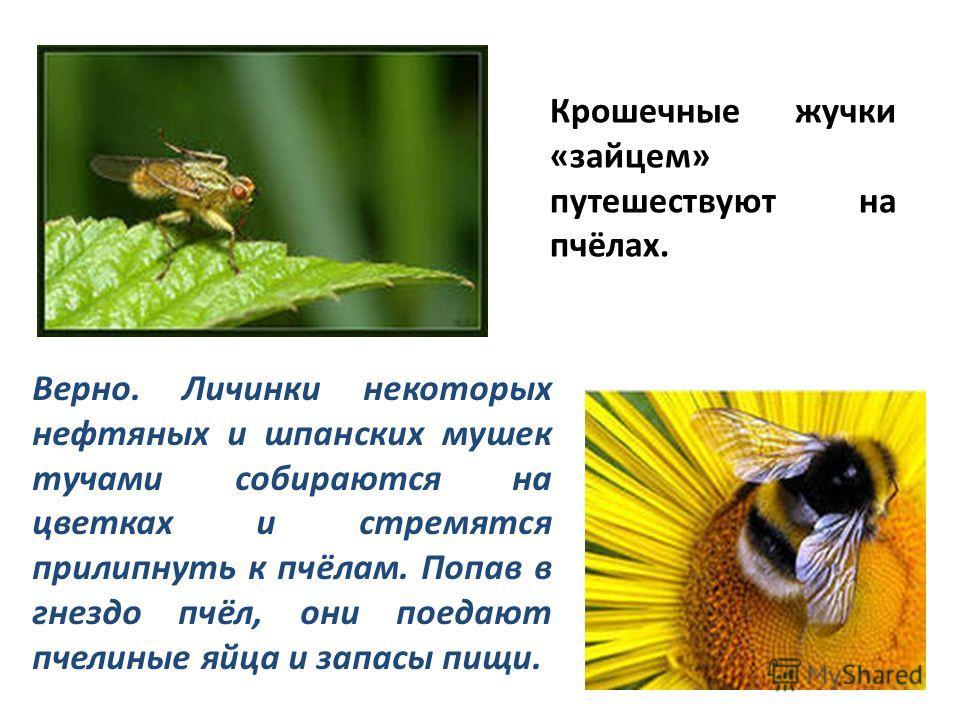 Крошечные жучки «зайцем» путешествуют на пчёлах. Верно. Личинки некоторых нефтяных и шпанских мушек тучами собираются на цветках и стремятся прилипнуть к пчёлам. Попав в гнездо пчёл, они поедают пчелиные яйца и запасы пищи.