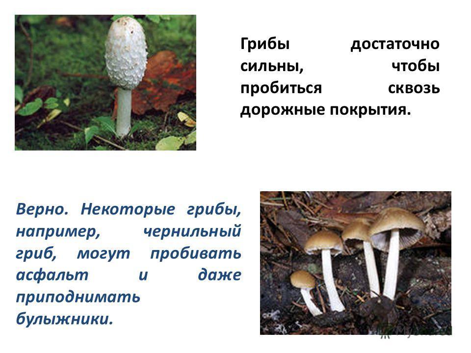Грибы достаточно сильны, чтобы пробиться сквозь дорожные покрытия. Верно. Некоторые грибы, например, чернильный гриб, могут пробивать асфальт и даже приподнимать булыжники.