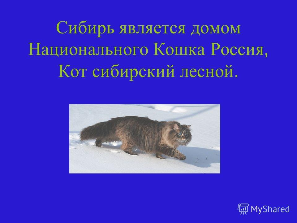 Сибирь является домом Национального Кошка Россия, Кот сибирский лесной.