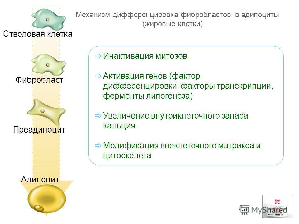 Стволовая клетка Фибробласт Преадипоцит Адипоцит Механизм дифференцировка фибробластов в адипоциты (жировые клетки) Инактивация митозов Активация генов (фактор дифференцировки, факторы транскрипции, ферменты липогенеза) Увеличение внутриклеточного за