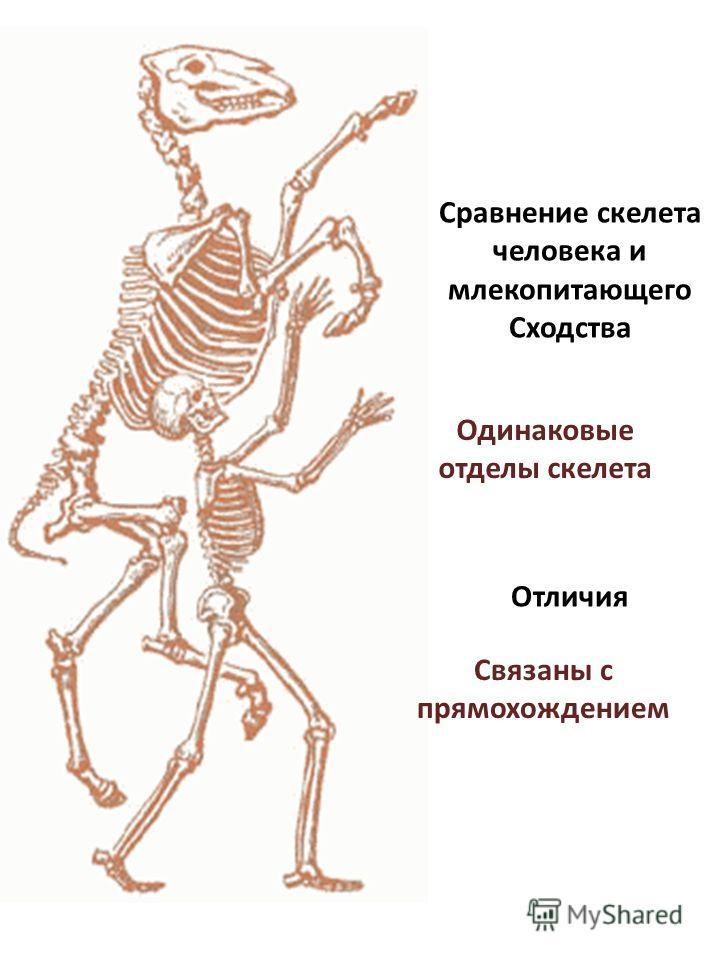 Сравнение скелета человека и млекопитающего Сходства Отличия Одинаковые отделы скелета Связаны с прямохождением