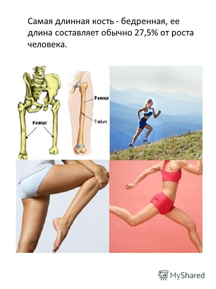 Самая длинная кость - бедренная, ее длина составляет обычно 27,5% от роста человека.