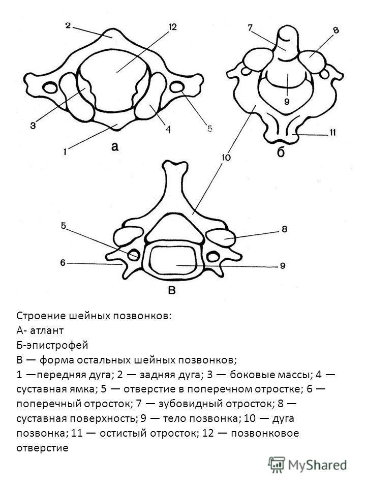 Строение шейных позвонков: А- атлант Б-эпистрофей В форма остальных шейных позвонков; 1 передняя дуга; 2 задняя дуга; 3 боковые массы; 4 суставная ямка; 5 отверстие в поперечном отростке; 6 поперечный отросток; 7 зубовидный отросток; 8 суставная пове