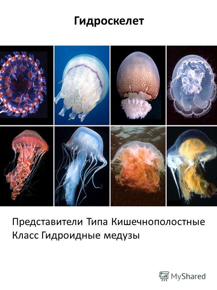 Гидроскелет Представители Типа Кишечнополостные Класс Гидроидные медузы