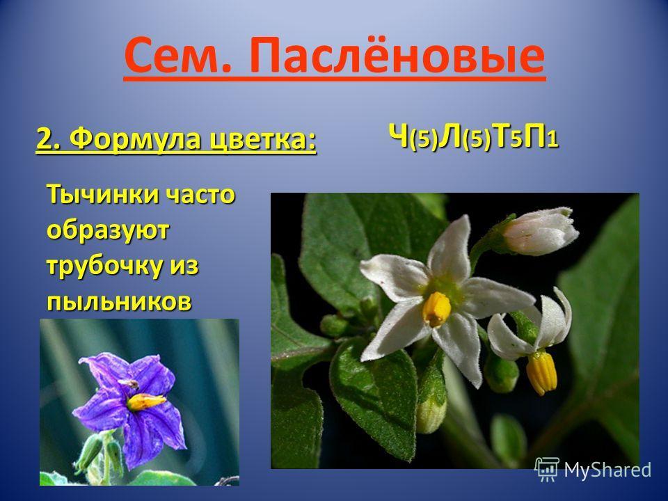 Сем. Паслёновые 2. Формула цветка: Ч (5) Л (5) Т 5 П 1 Тычинки часто образуют трубочку из пыльников