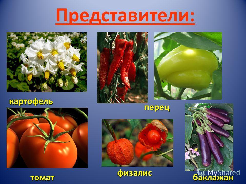 Представители:картофель физалис перец томатбаклажан