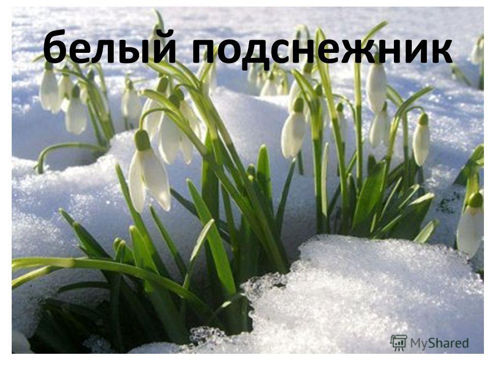 белый подснежник