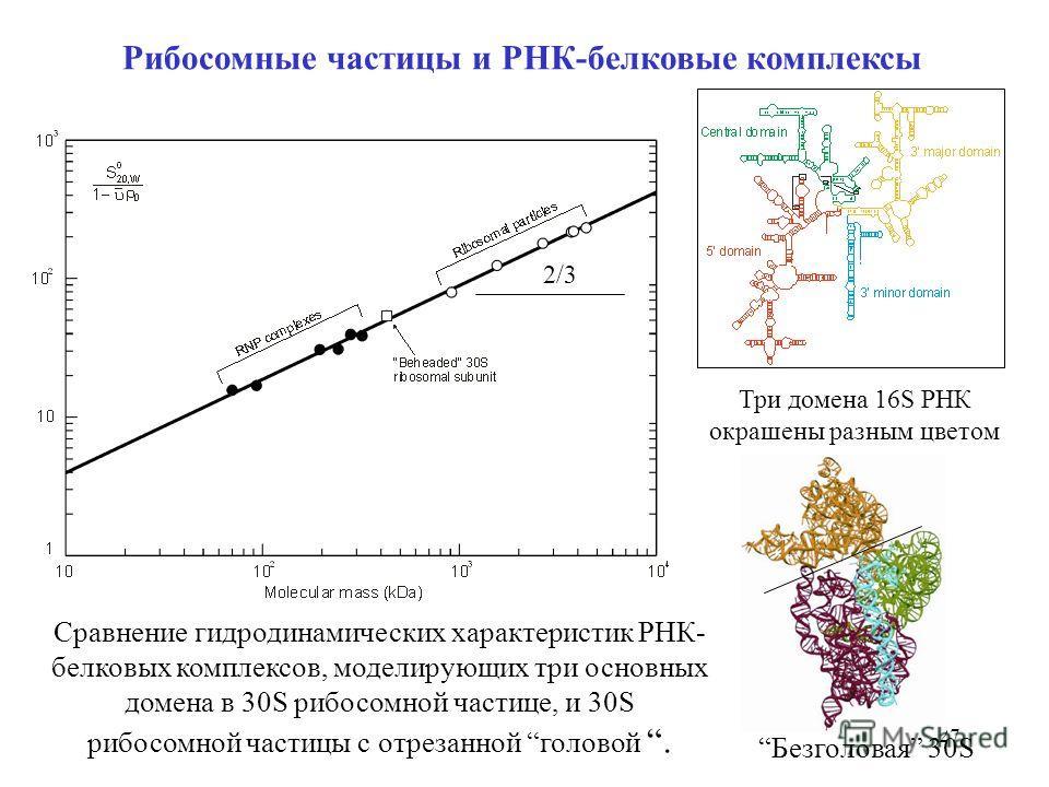 27 Рибосомные частицы и РНК-белковые комплексы Сравнение гидродинамических характеристик РНК- белковых комплексов, моделирующих три основных домена в 30S рибосомной частице, и 30S рибосомной частицы с отрезанной головой. Три домена 16S РНК окрашены р