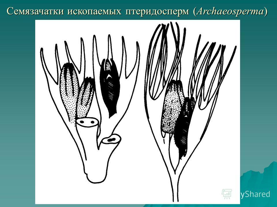 Семязачатки ископаемых птеридосперм (Archaeosperma)