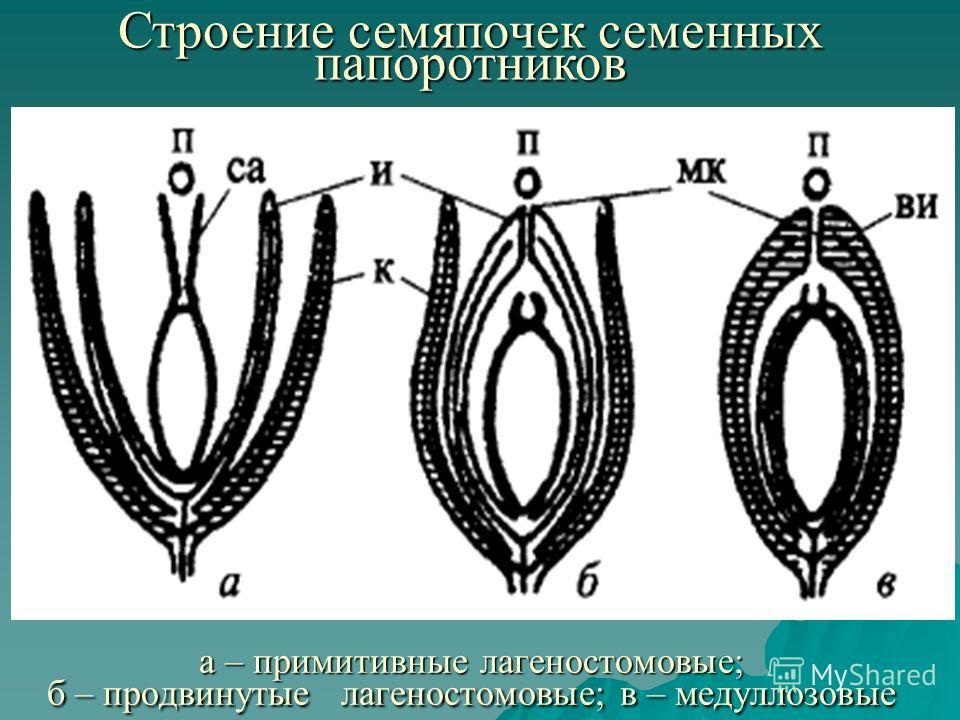 Строение семяпочек семенных папоротников а – примитивные лагеностомовые; б – продвинутые лагеностомовые; в – медуллозовые