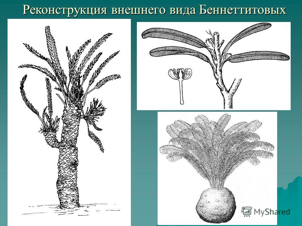 Реконструкция внешнего вида Беннеттитовых