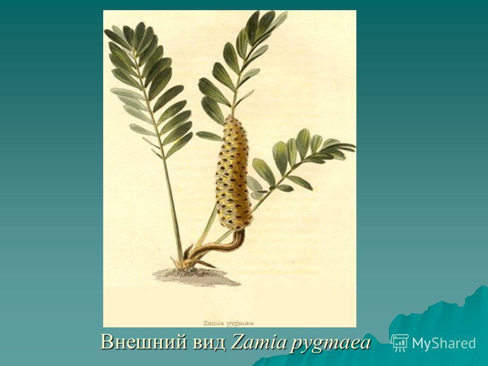 Внешний вид Zamia pygmaea Внешний вид Zamia pygmaea