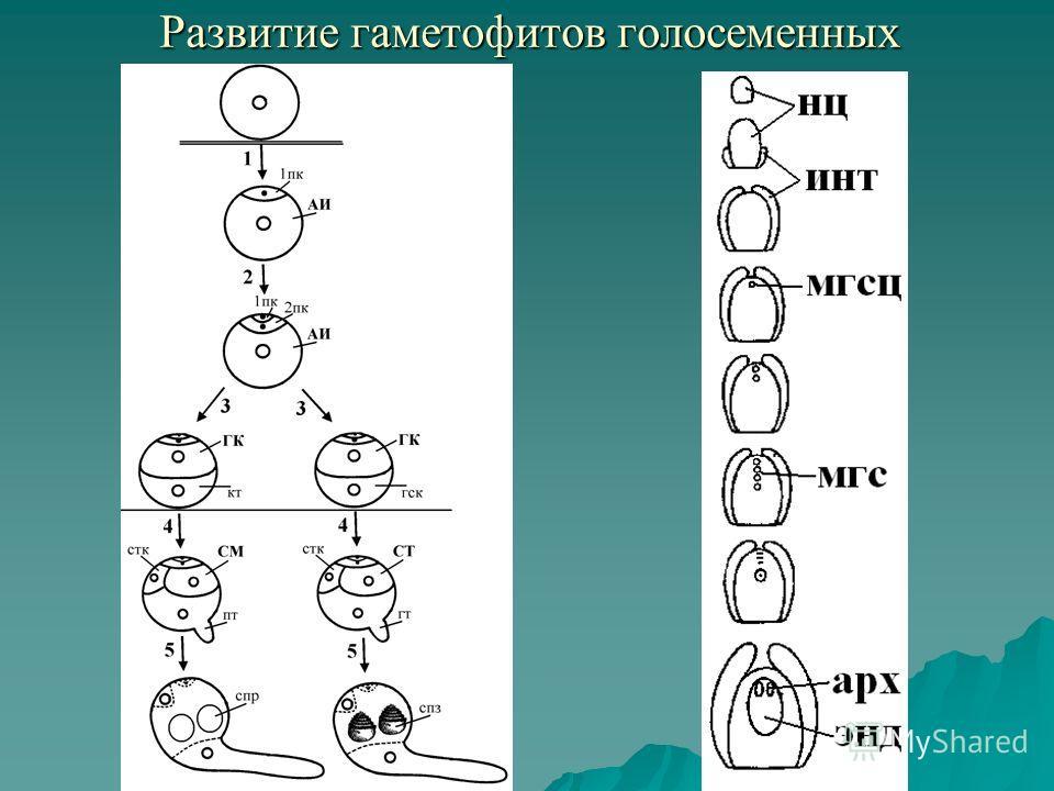 Развитие гаметофитов голосеменных Развитие гаметофитов голосеменных